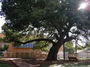 BrykerWoods Elementary Oak Tree